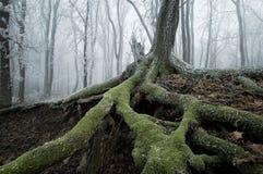 一个老结构树的冻结的根 免版税库存照片