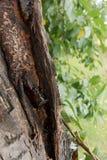 一个老结构树的吠声 库存图片