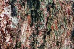 一个老结构树的吠声 免版税图库摄影