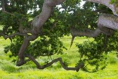 一个老英国橡树的下垂的大树枝的下面边显示分支、枝杈和叶子的 免版税库存图片