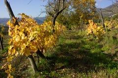 一个老葡萄园在意大利 库存照片