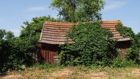 一个老被放弃的被风化的棚子盖了用绿色常春藤盖的小屋 影视素材