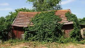 一个老被放弃的被风化的棚子盖了用绿色常春藤盖的小屋 股票视频