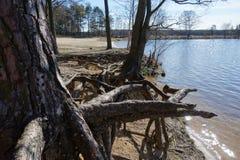 一个老结构树的根 库存图片