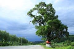 一个老结构树 库存图片