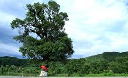 一个老结构树 免版税库存图片