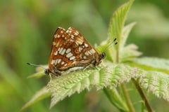一个联接的对伯根地蝴蝶& x28罕见的公爵; Hamearis lucina& x29; 免版税图库摄影