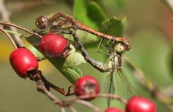 一个联接的对共同的突进者蜻蜓Sympetrum striolatum在红色山楂树莓果栖息 免版税库存图片