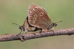 一个联接的对的侧视图卷发蝴蝶Aphantopus hyperantus在有他们的被关闭的翼的一根枝杈栖息 免版税图库摄影