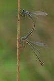 一个联接的对鲜绿色蜻蜓& x28; Lestes sponsa& x29; 库存照片
