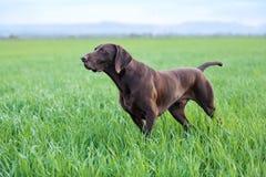 一个肌肉褐巧克力色猎犬,德国短毛指针,纯血种马,在草的领域中站立在点 库存照片