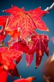 一个胶皮糖香树的红色秋叶 免版税库存图片