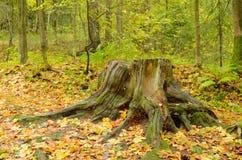 一个腐烂的树桩在森林 免版税图库摄影
