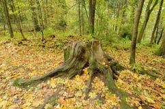 一个腐烂的树桩在森林 库存图片