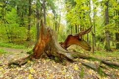 一个腐烂的树桩在森林 免版税库存照片