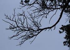 一个自然独特的树枝剪影 免版税库存照片