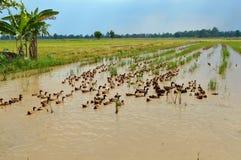 一个自由放养的鸭子农场 免版税库存照片