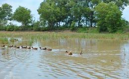 一个自由放养的鸭子农场 免版税图库摄影