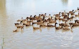 一个自由放养的鸭子农场 免版税库存图片