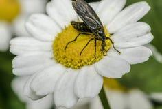 一个臭虫的宏指令在一朵小的雏菊花的 库存图片