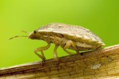 一个臭虫的宏观射击在一片干燥叶子的 免版税库存照片