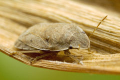 一个臭虫的宏观射击在一片干燥叶子的 库存照片