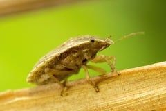 一个臭虫的宏观射击在一片干燥叶子的 库存图片