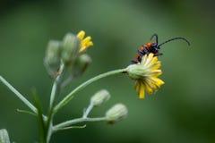 一个臭虫的特写镜头在花的 免版税库存照片