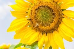 一个花向日葵的片段与蜂的 免版税库存图片