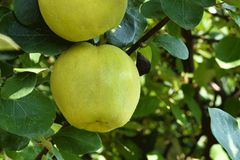 一个苹果的特写镜头视图在一棵树的在叶子之间在一天 免版税库存图片