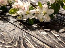 一个苹果的花在春天 库存图片