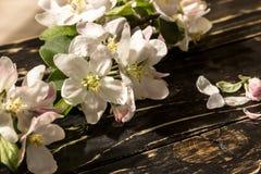 一个苹果的花在春天 图库摄影