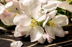 一个苹果的花在春天 库存照片