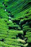 一个茶园在喀麦隆高地马来西亚 库存图片