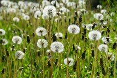 一个草甸用蒲公英 免版税库存图片