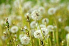 一个草甸用蒲公英 免版税图库摄影
