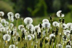 一个草甸用蒲公英 图库摄影