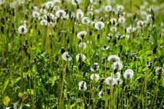 一个草甸用蒲公英 免版税库存照片