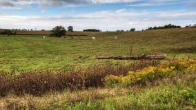 一个草甸的4K UltraHD A农村timelapse视图有母牛的 影视素材