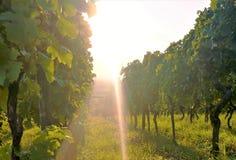 一个葡萄园在阳光下 图库摄影