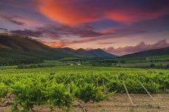 一个葡萄园的全景在托斯坎乡下 免版税库存图片