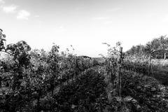 一个葡萄园的第一人景色,在干净,空的天空下 库存图片