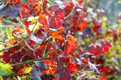 一个葡萄园的红色叶子背景在秋天 免版税库存照片