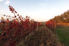 一个葡萄园的美丽的景色在秋天,与非常强烈的红色fo 免版税库存图片