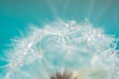 一个蒲公英的宏指令与小滴的在精美蓝色背景 选择聚焦 库存照片