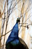 一个蓝色孔雀的头 库存图片
