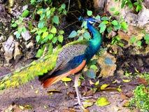 一个蓝色孔雀身分 免版税库存照片