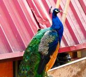 一个蓝色孔雀身分 库存照片