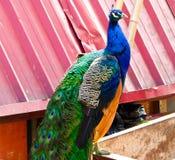 一个蓝色孔雀身分 免版税库存图片