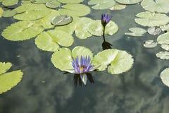 一个蓝色百合和一片绿色叶子在池塘 荷花,荷花 免版税图库摄影